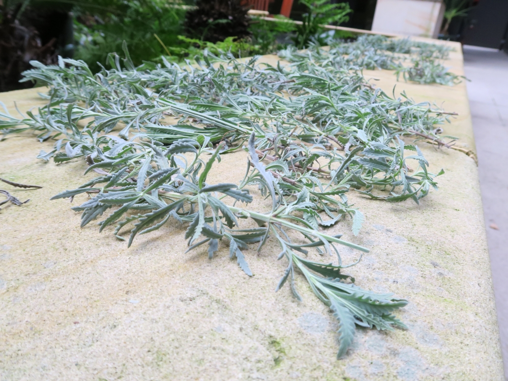 Picture of lavender branches
